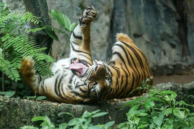 Tigre bostezando acostado sobre una roca.