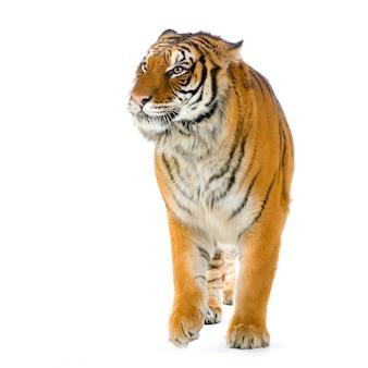 Tigre caminando aislado.