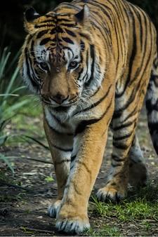 Tigre caminando en la tierra cubierta de hierba