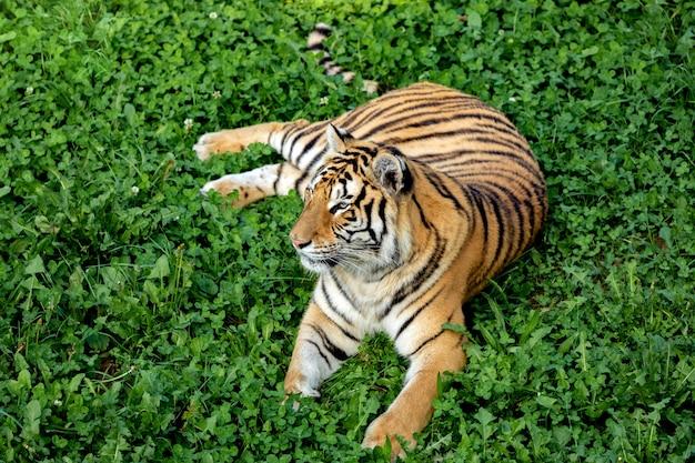 Tigre increíble