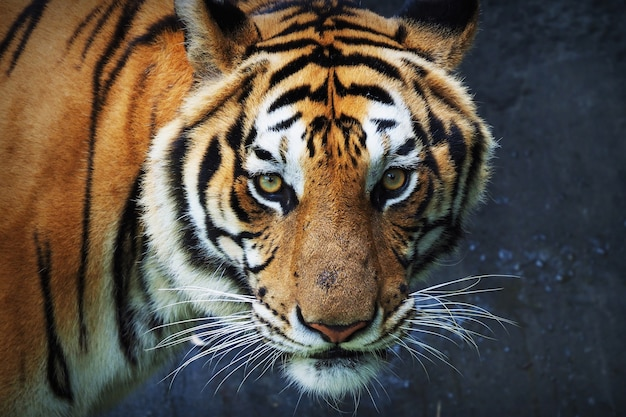 Tigre mirando de frente