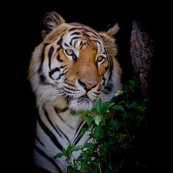 Tigre mirando a su presa y listo para atraparla.
