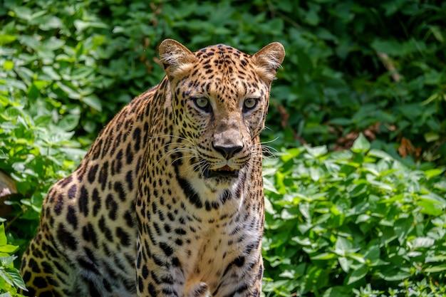 El tigre mirando.