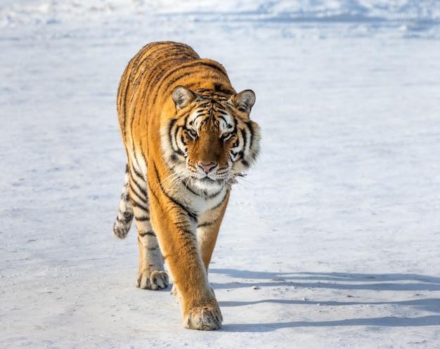 Tigre siberiano en un día de invierno