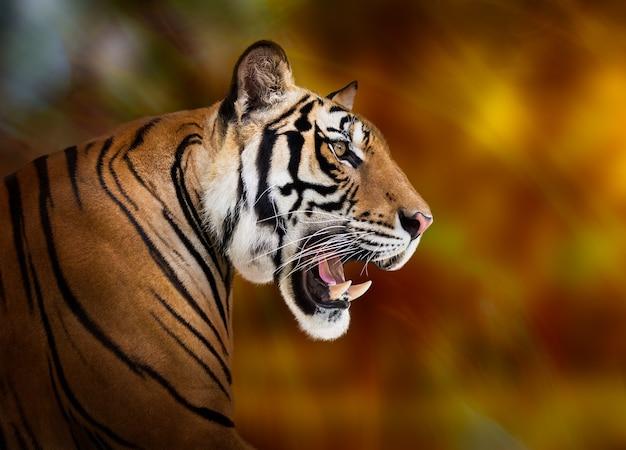 Tigre siberiano joven sobre fondo rojo oscuro