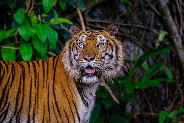 El tigre siberiano (panthera tigris tigris) también se llama tigre de amur