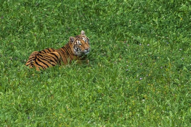 Tigre sobre la verde hierba