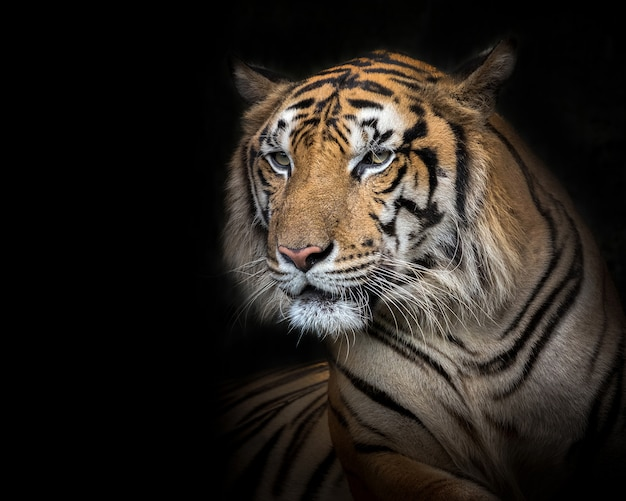 Tigre de sumatra macho sobre un fondo negro