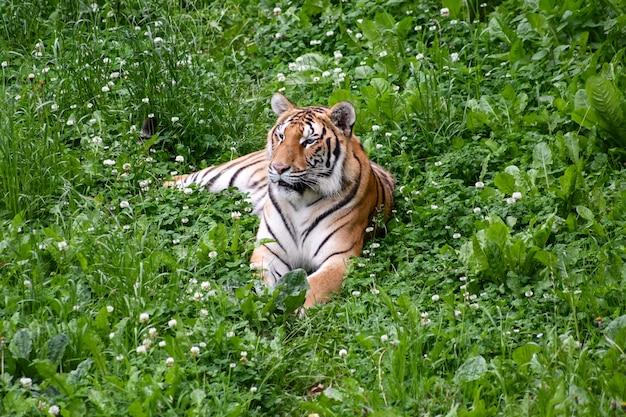 Tigre tranquilo tumbado en el campo
