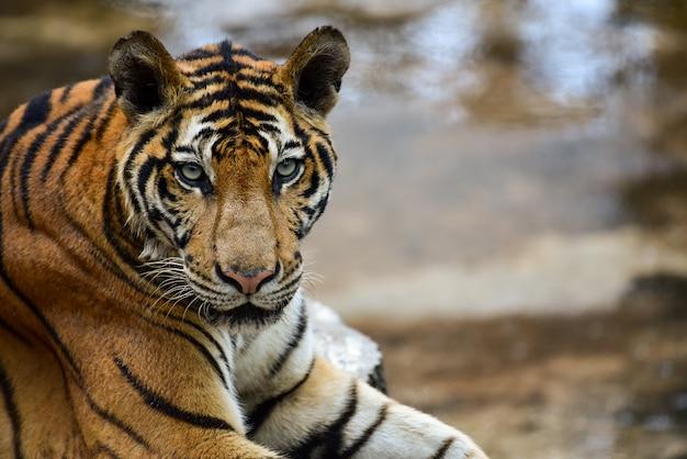 Tigre en zoológico