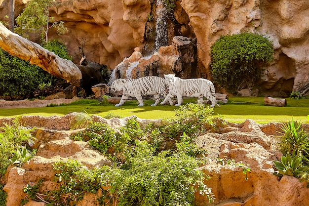 Tigres blancos de bengala caminan en la selva