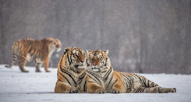 Tigres siberianos en un día de invierno