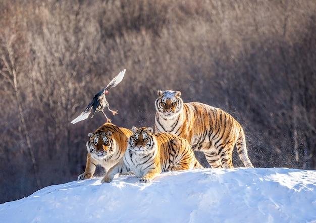 Los tigres siberianos están de pie sobre una colina cubierta de nieve para atrapar presas