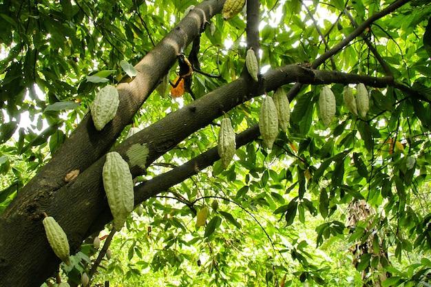 Tiro de ángulo bajo de un árbol de cacao con granos de cacao en flor en él