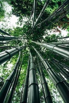 Tiro de ángulo bajo de los árboles de bambú gigantes