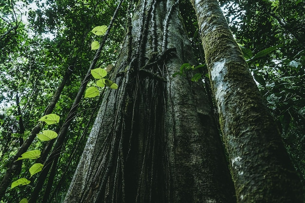 Tiro de ángulo bajo de pinos de hoja larga que crecen en un bosque verde