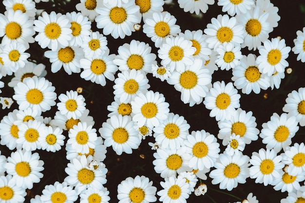 Tiro arriba del campo de flores de manzanilla margarita