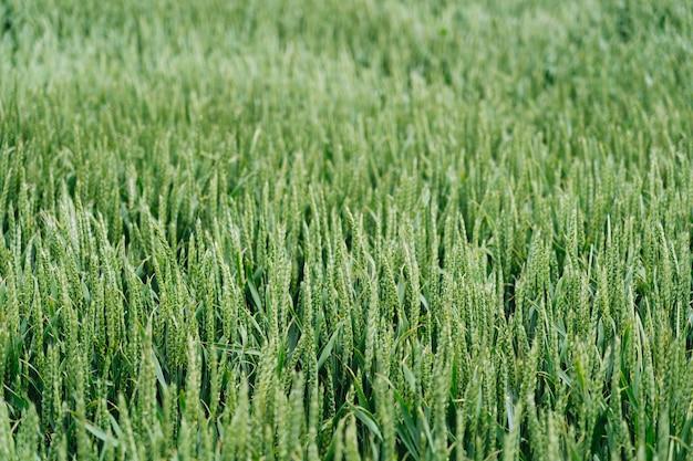 Tiro cercano de un campo de hierba dulce con un borroso