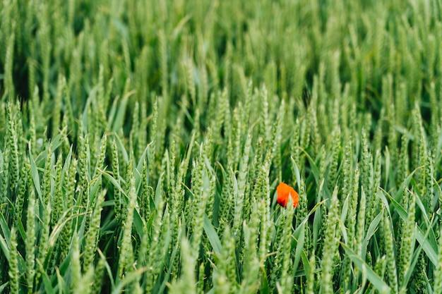Tiro cercano de una flor roja en un campo de hierba dulce