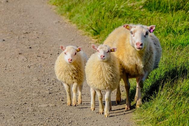 Tiro cercano de ovejas bebé caminando con su madre cerca de un campo de hierba en un día soleado