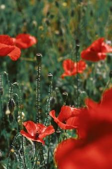 Tiro hermoso del primer de las flores rojas de la amapola que florece en un campo verde