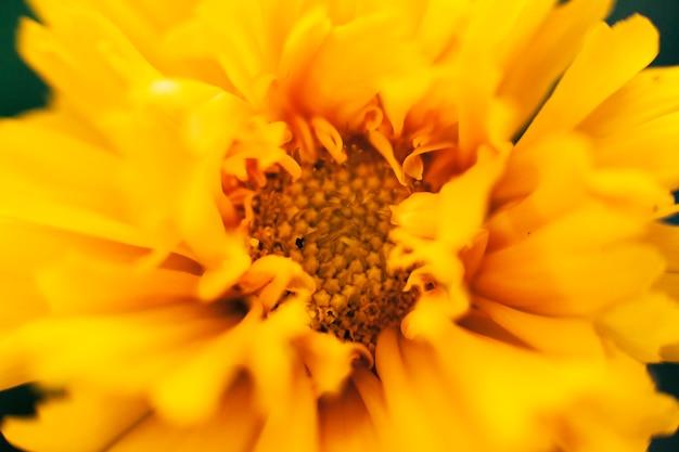 Tiro de macro de flor de caléndula
