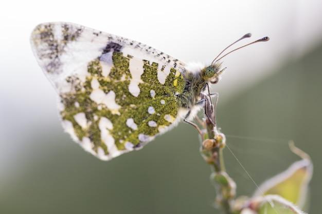 Tiro macro de una mariposa en su entorno natural. latín - anthocharis cardamines