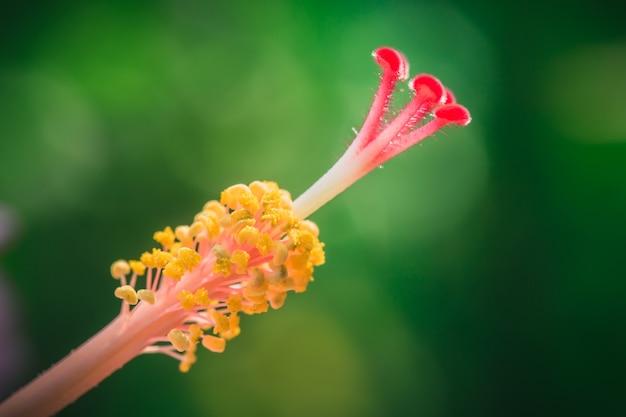 Tiro macro del polen de la flor del primer