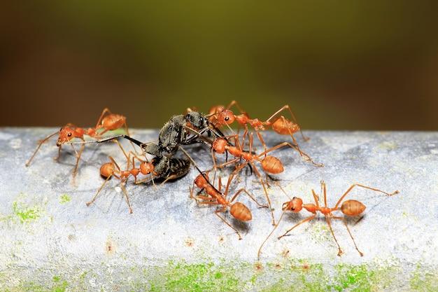 Tiro macro del trabajo en equipo de las hormigas rojas de los tejedores para cazar las comidas.