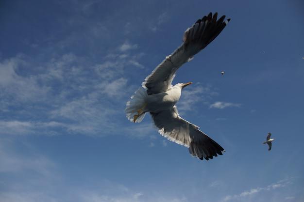 Tiro de primer plano de ángulo bajo de un hermoso águila pescadora salvaje con grandes alas volando alto en el cielo