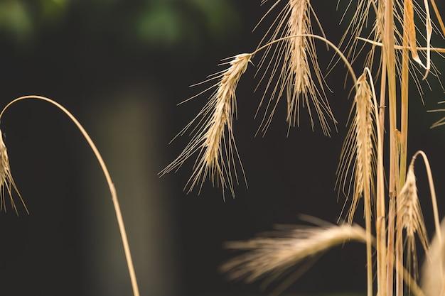 Tiro en tonos macro de espigas de trigo maduro en campo en día soleado
