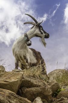 Tiro vertical de una cabra de pie sobre una gran roca en saas-fee, suiza