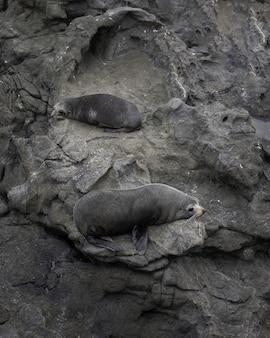 Tiro vertical de dos lindos leones marinos tumbados en las rocas