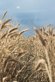 Tiro vertical de un hermoso campo de trigo con cielo azul