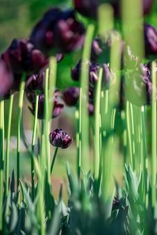 Tiro vertical de hermosos tulipanes morados altos que crecen en un jardín en un día soleado