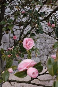 Tiro vertical de un jardín de rosas rosadas con un fondo borroso