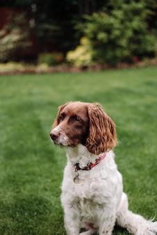 Tiro vertical de un perro blanco y marrón con correa roja sobre la hierba verde