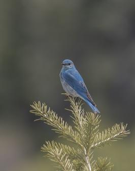 Tiro vertical del primer de un bluebird de la montaña en una rama