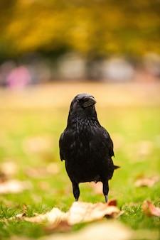 Tiro vertical del primer de un cuervo negro que se coloca en la hierba con el fondo borroso