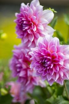 Tiro vertical del primer de una flor hermosa de la dalia de pétalos rosados con un fondo borroso
