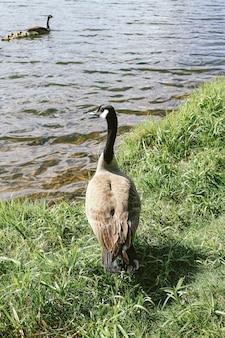 Tiro vertical del primer de un pato que se coloca en hierba cerca del agua
