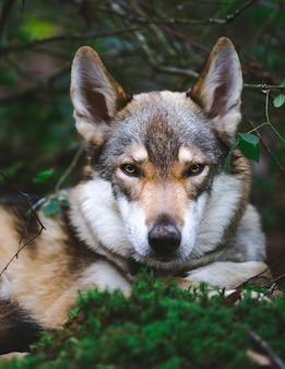 Tiro vertical del primer de un perro lobo de yamnuska en las plantas verdes del fondo borroso