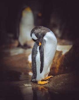 Tiro vertical del primer de un pingüino que se limpia con un fondo borroso