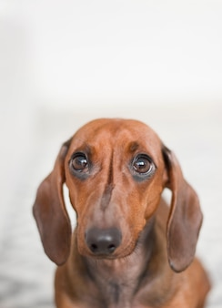 Tiro vertical de primer plano de un perro salchicha de orejas largas aislado en blanco