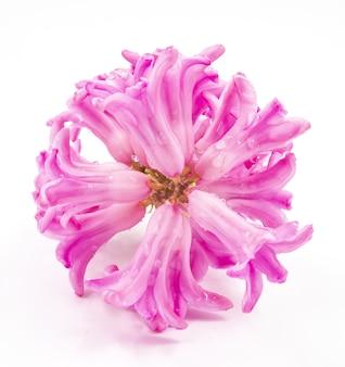 Tiro de vista superior de un racimo de flores de jacinto en un tallo contra un blanco