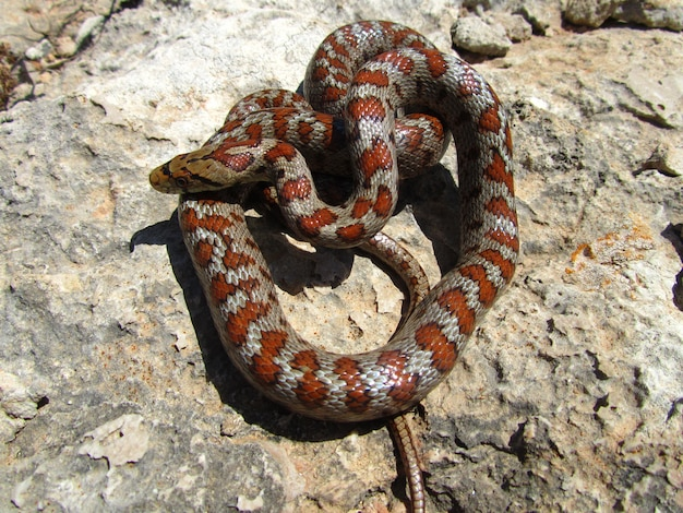 Tiro de vista superior de una serpiente de rata europea enrollada sobre piedras