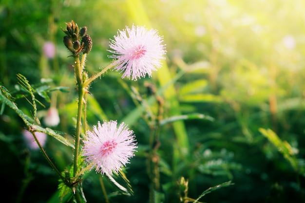 Tócame no flor floreciendo al amanecer