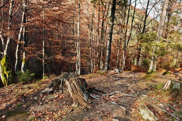 Tocón viejo con raíces en bosque otoñal