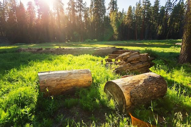 Tocones secos de pino en prado verde al atardecer