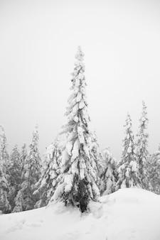 Todo está cubierto de nieve. árboles nevados en el bosque. navidad nevada mañana
